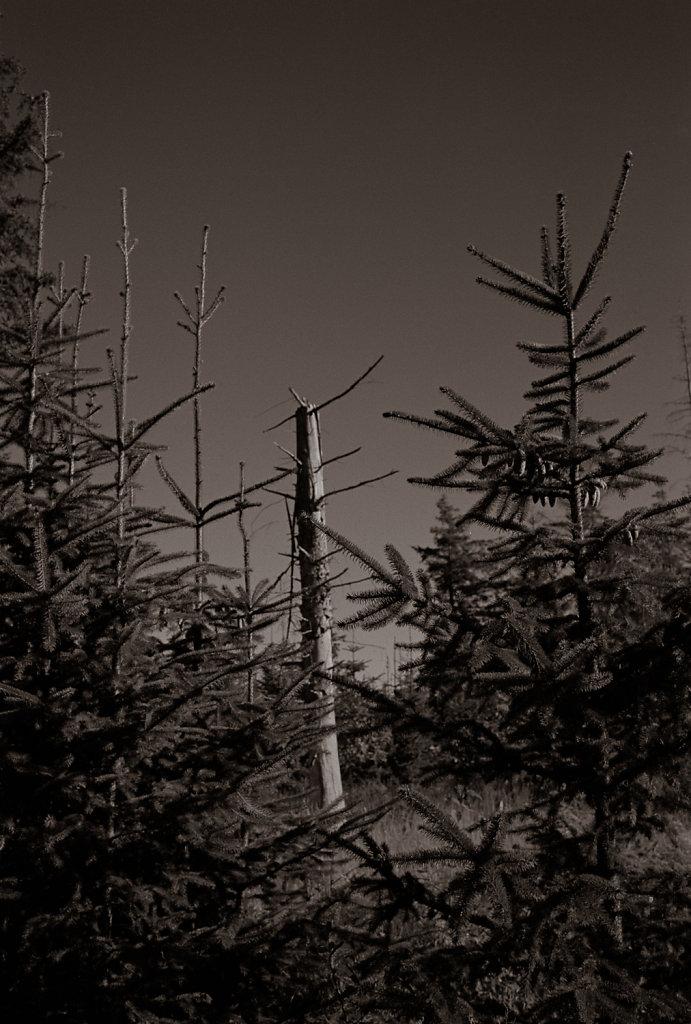 Tree study in Silvermax 4